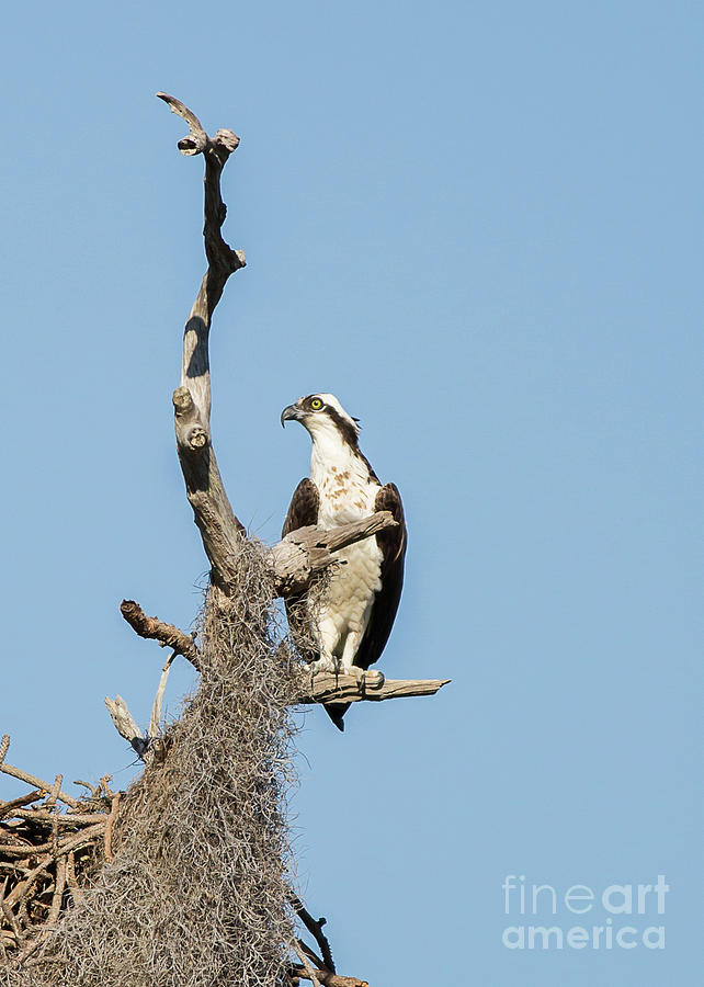 Perched Osprey by Brad Marzolf Photography