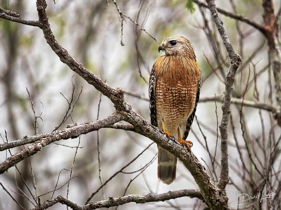 Perched Red Shouldered Hawk by David A Lane