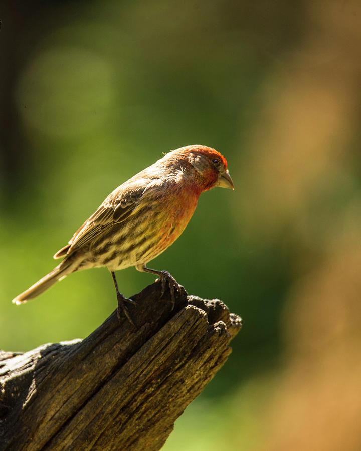 Bird Photograph - Perching house finch by Roy Nierdieck