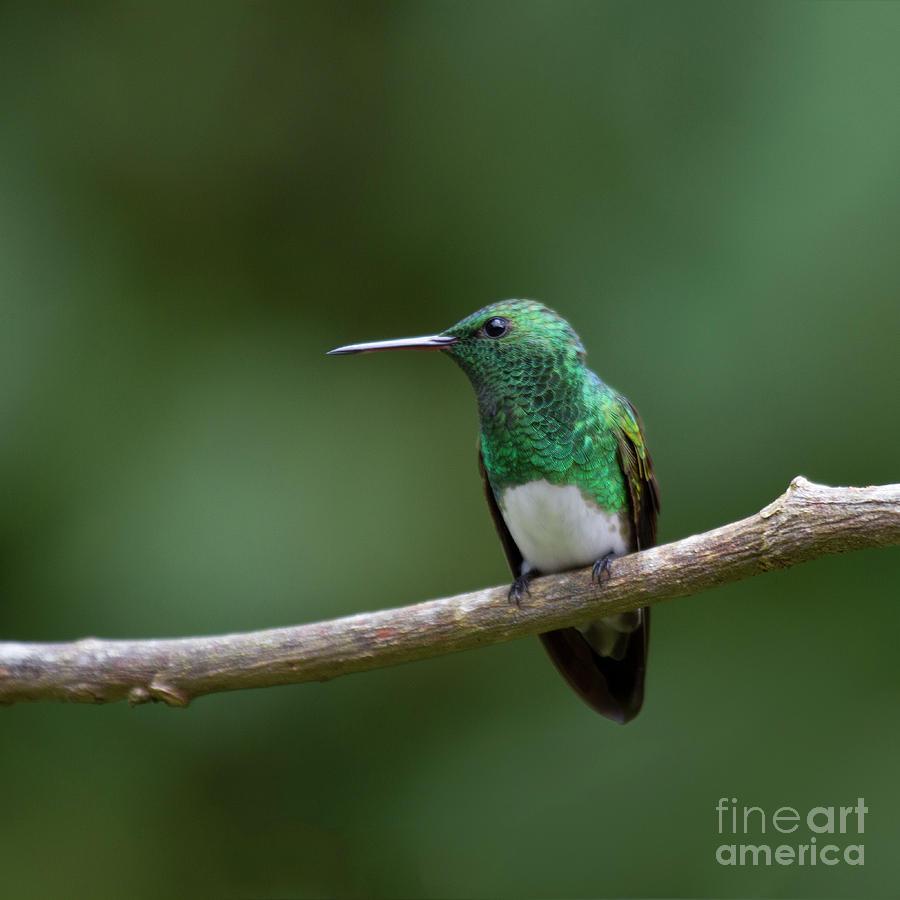 Perching Snowy-bellied Hummingbird Photograph