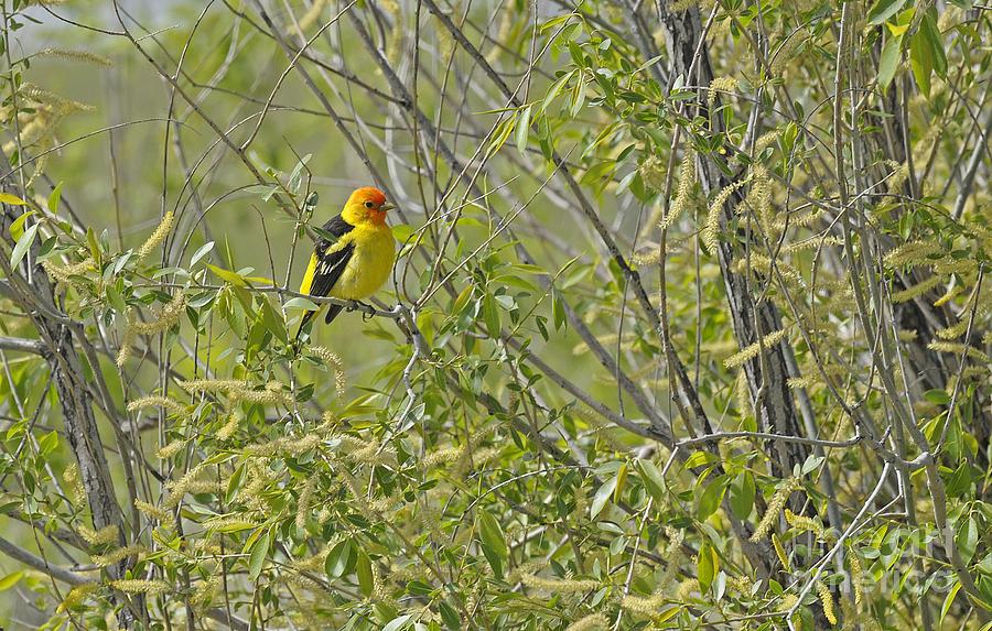 Birds Photograph - Perching Tanager by Dennis Hammer