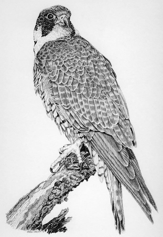 Peregrine Falcon Drawing by Craig Carlson
