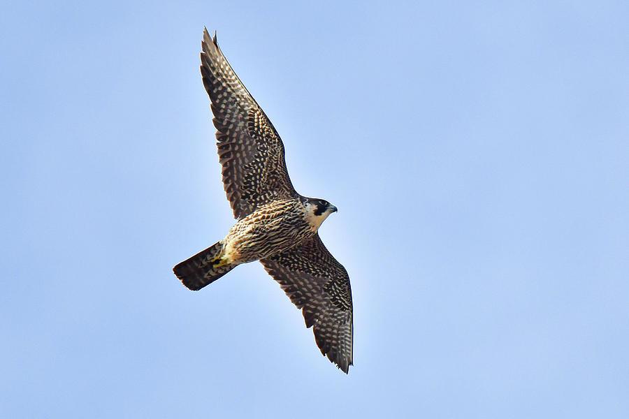Bird Photograph - Peregrine Falcon In Flight by Alan Lenk