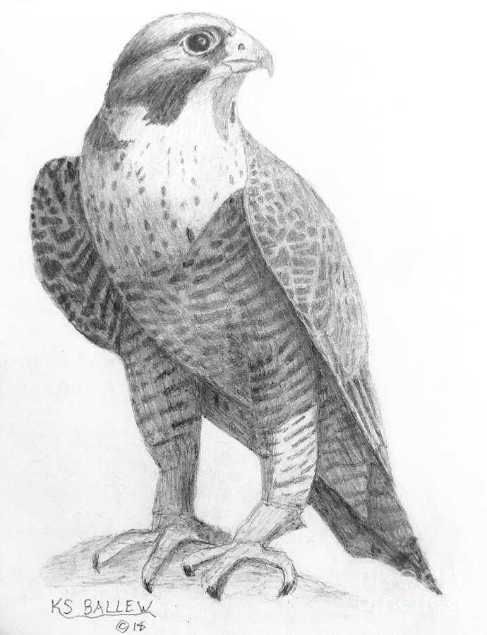 Peregrine Falcon Art Print  Hand-drawn graphite scientific illustration  Black and white drawing  Bird art