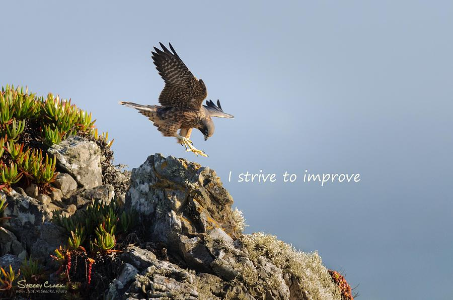Peregrine Falcon says I Strive to Improve Photograph by Sherry Clark