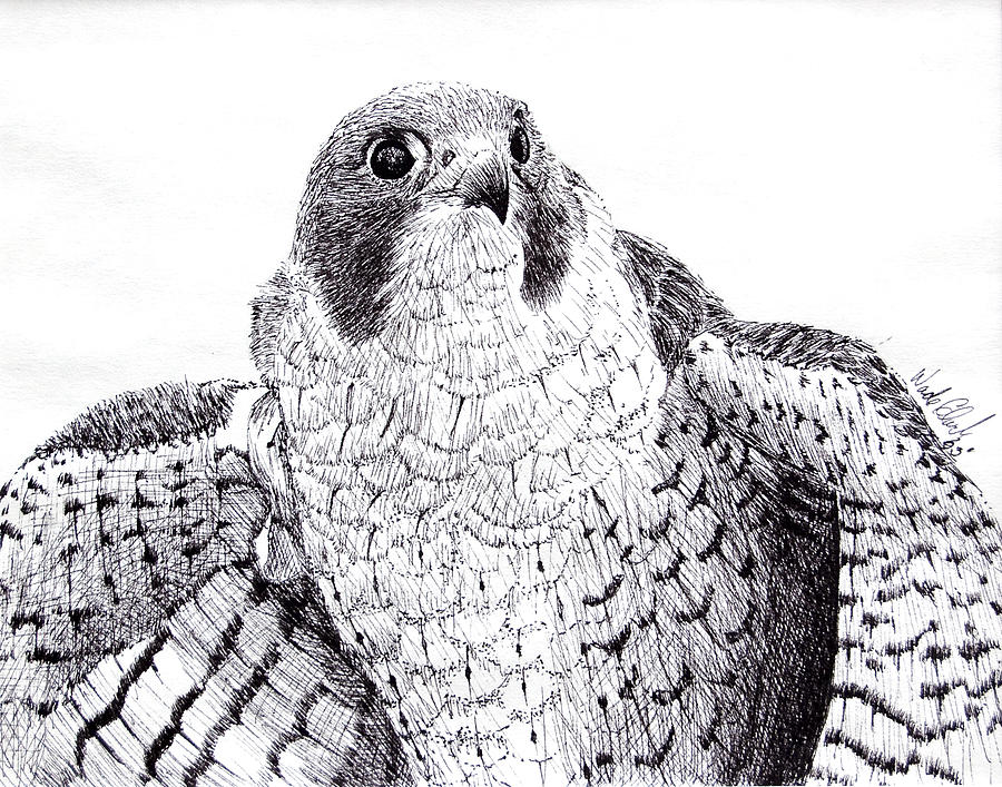 Wildlife Drawing - Peregrine Falcon by Wade Clark