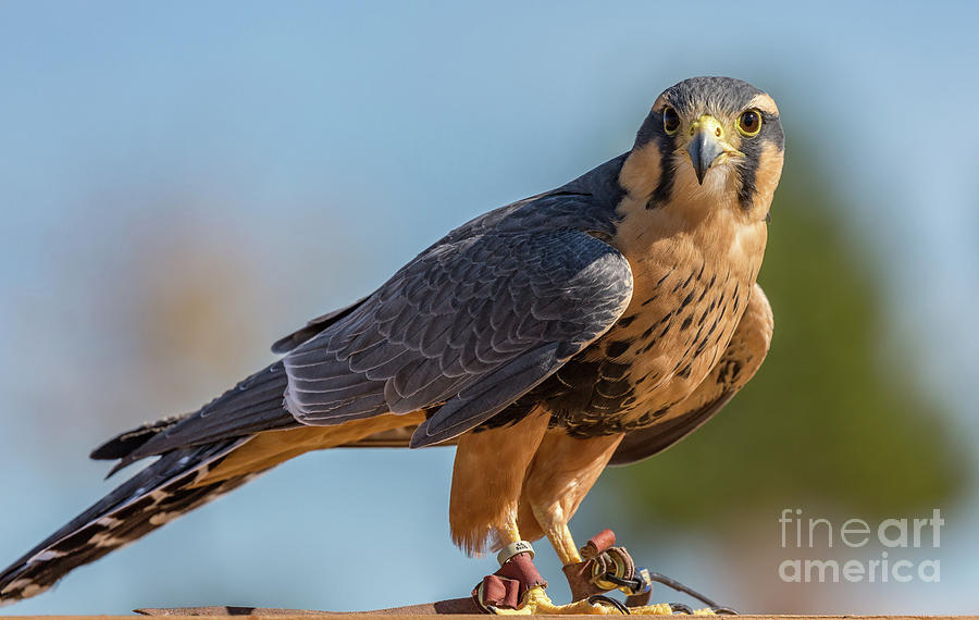 Peregrine Falcon Wildlife Art by Kaylyn Franks by Kaylyn Franks
