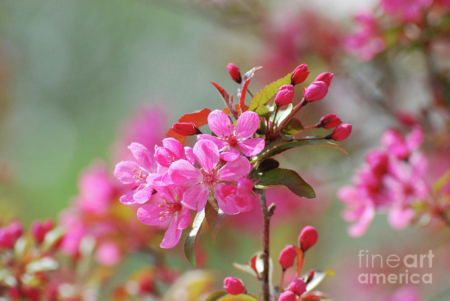 Perfect dark pink cherry blossoms photograph by dejavu designs cherry tree photograph perfect dark pink cherry blossoms by dejavu designs mightylinksfo