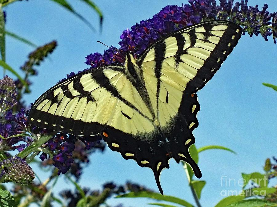 Perfect Form - Eastern Tiger Swallowtail Photograph