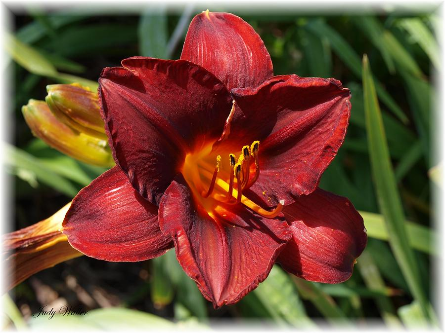 Beauty Photograph - Perfect Lily by Judy  Waller