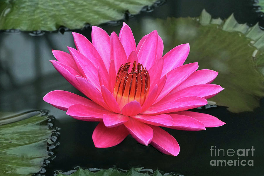 Perfect Pink Petals Of A Waterlily by Byron Varvarigos
