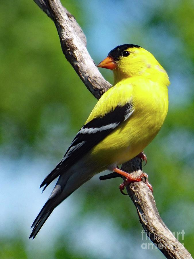 Perfect Pose - American Goldfinch Photograph