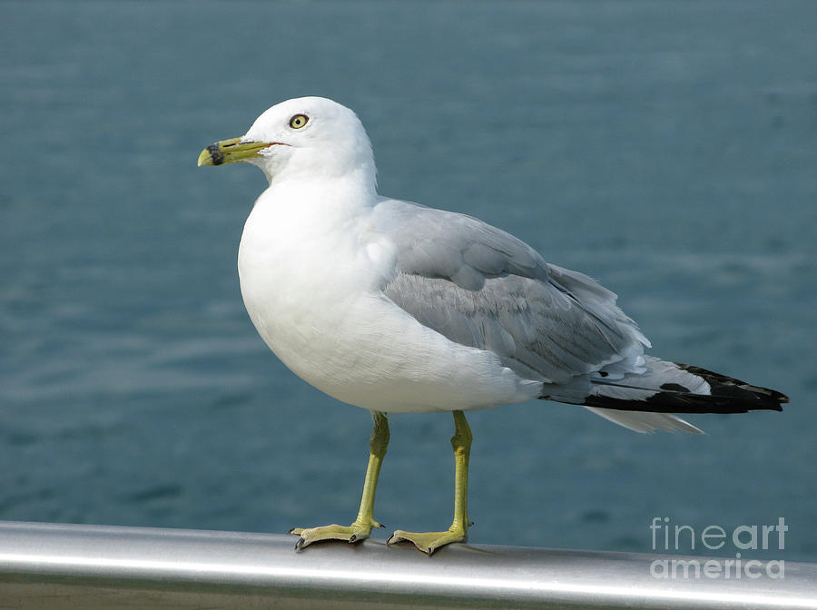 Seagull Photograph - Perfect Pose by Ann Horn