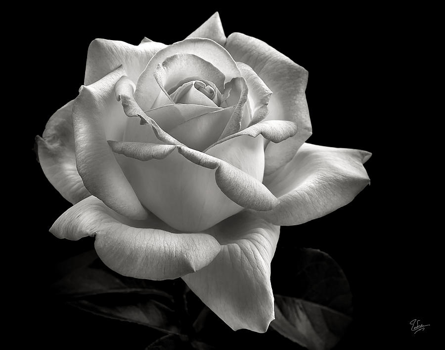 Perfect Rose In Black And White Photograph By Endre Balogh