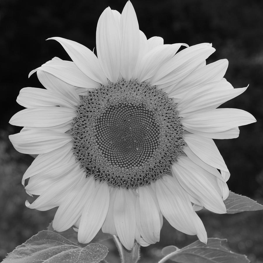 Perfect round sunflower in a square black and white by holly eads