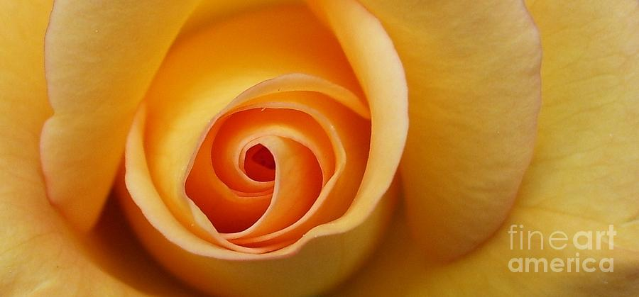 Yellow Photograph - Perfect Yellow Rose - Happiness by Deborah Brewer