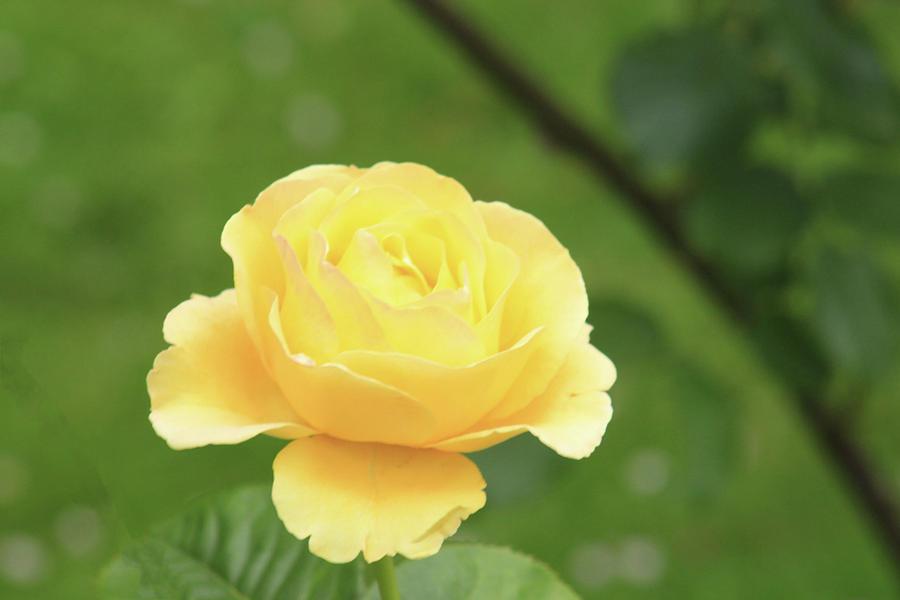 Perfect Yellow Rose by Jodi Vetter