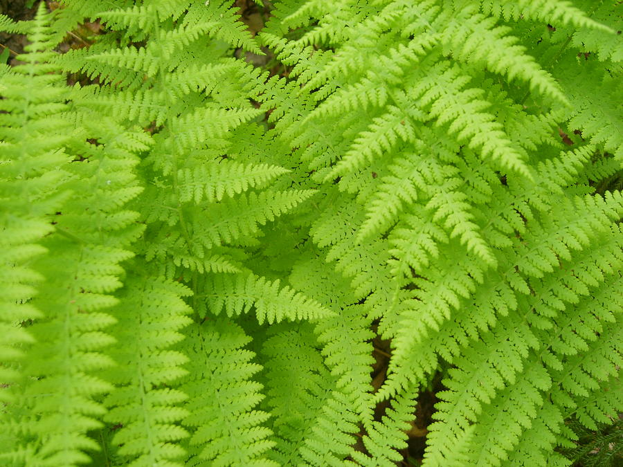 Fern Photograph - Perfume Of The Woods by Jennifer Compton