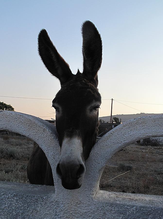 Perissa Donkey Photograph