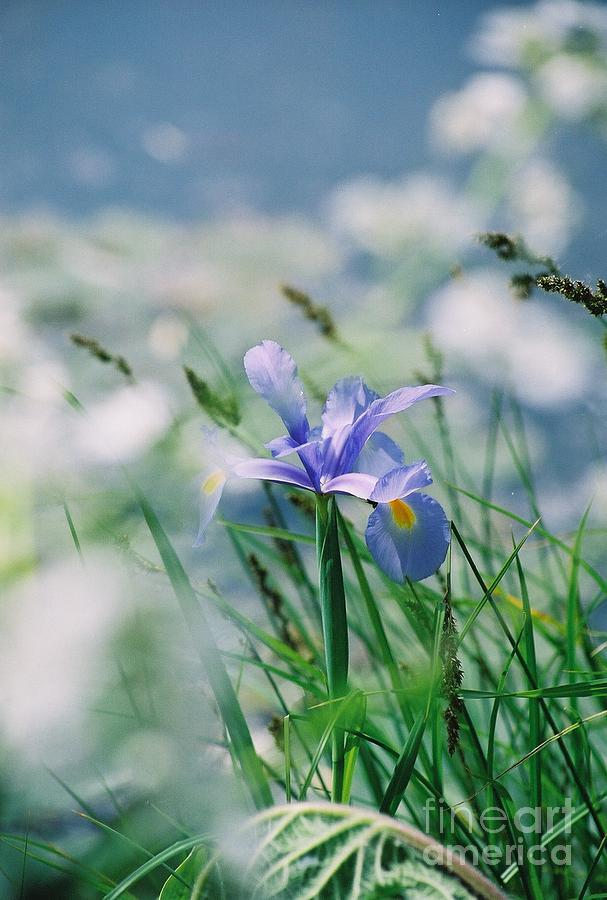 Periwinkle Photograph - Periwinkle Iris by Nadine Rippelmeyer