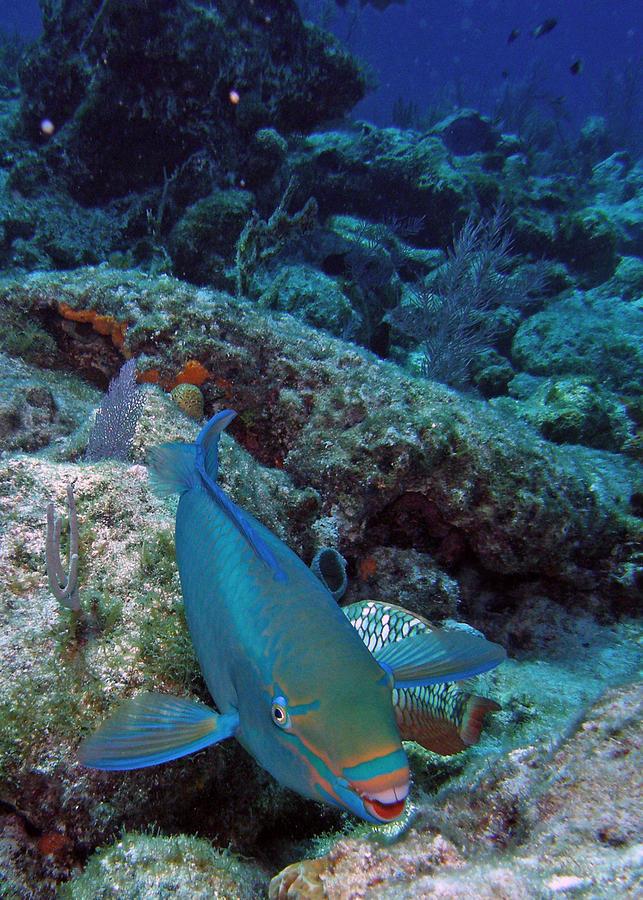 Nature Photograph - Perky Parrotfish by Kimberly Mohlenhoff