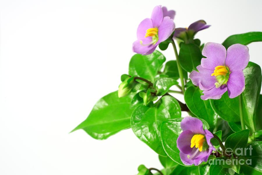Closeup Photograph - Persian Violets by Gaspar Avila