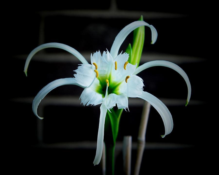 Peruvian Daffodil Photograph - Peruvian Daffodil - 8x10 by B Nelson