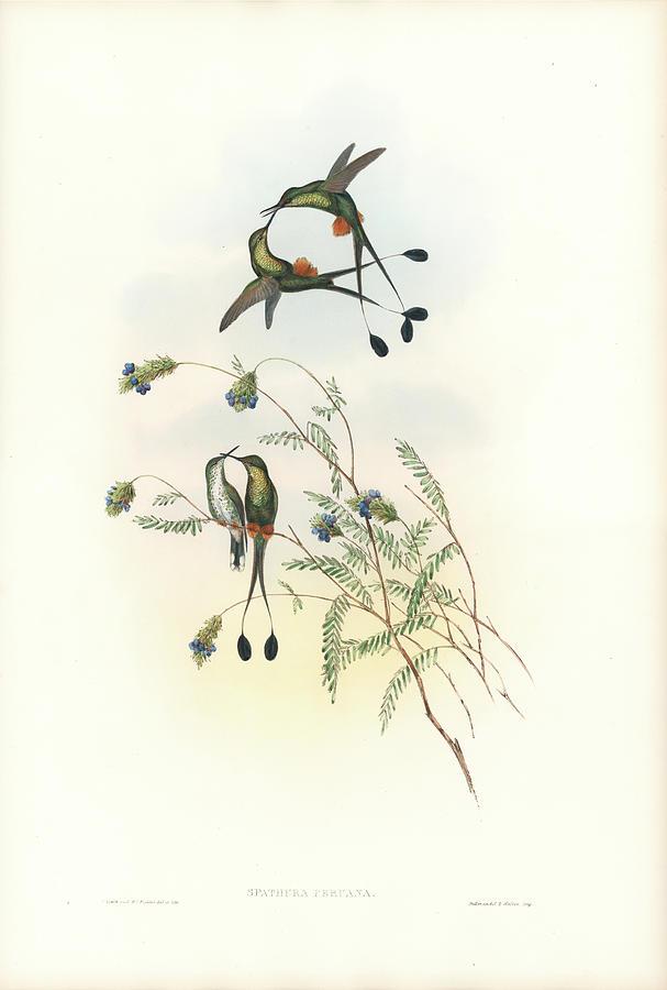 Peruvian Racket-Tail Hummingbird Spathura peruana by John and Elizabeth Gould