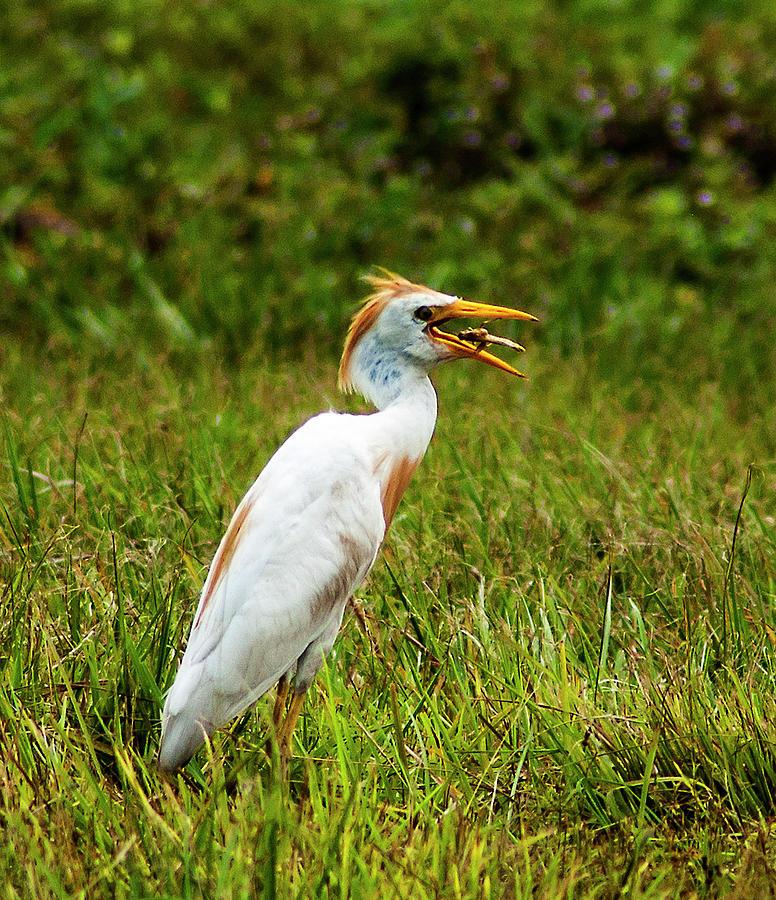 Cattle Egret Photograph - Pest Control by Norman Johnson