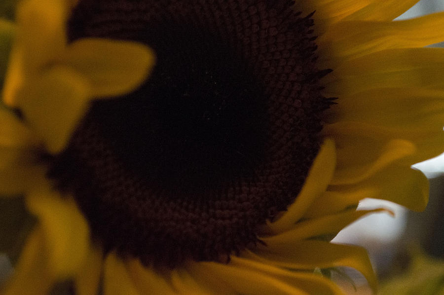 Sunflower Photograph - Petaling Along by Tara Miller