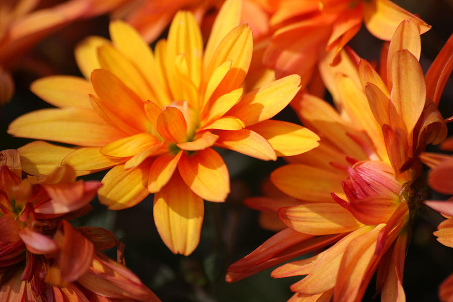 Flowers Photograph - Petals Of Autumn 2 by Jim  Darnall