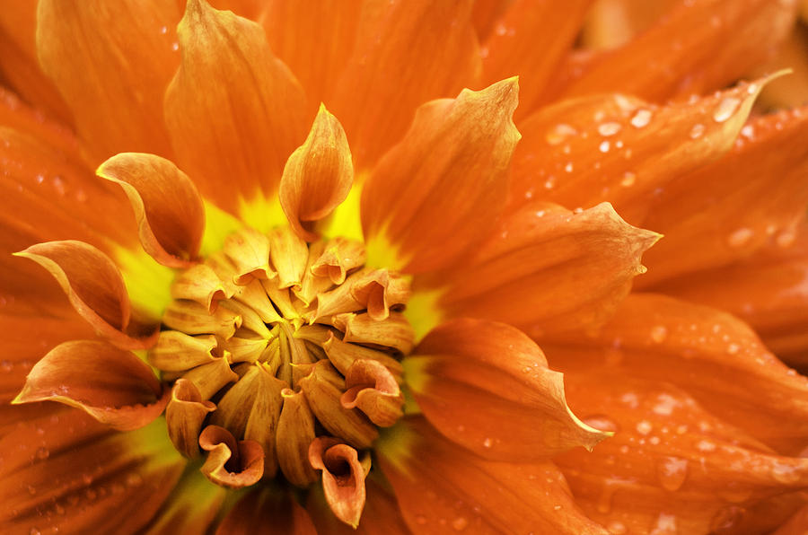 Dalia Photograph - Petals Of Fire by Rod Sterling