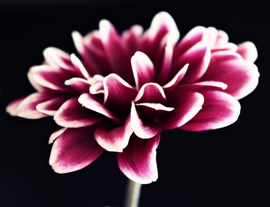 Flower Photograph - Petals Of The Mum by Cathie Tyler
