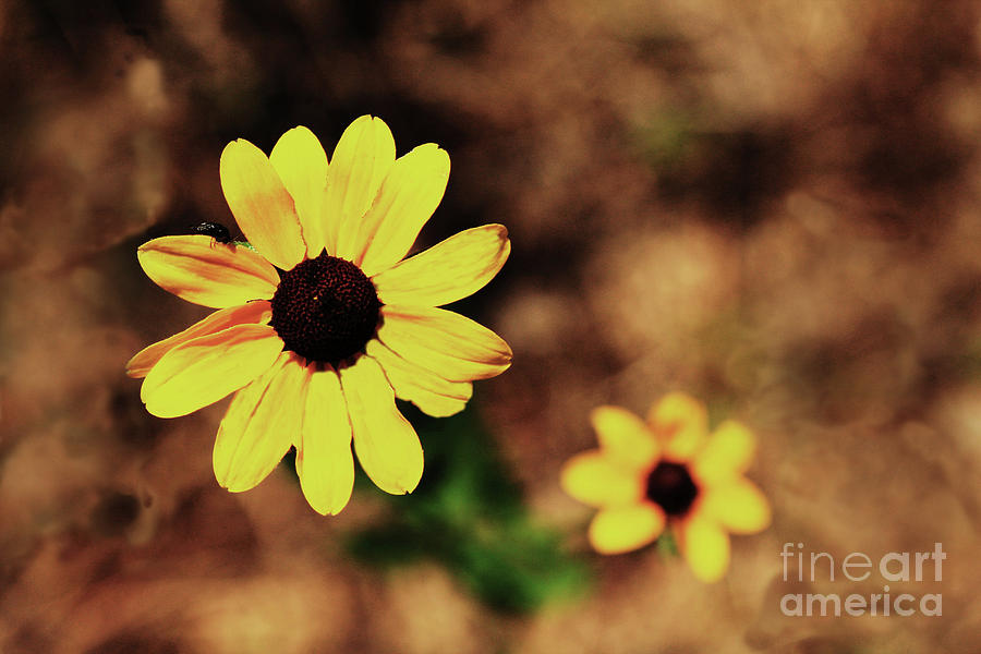 Sunflower Photograph - Petals Stretched by Kim Henderson