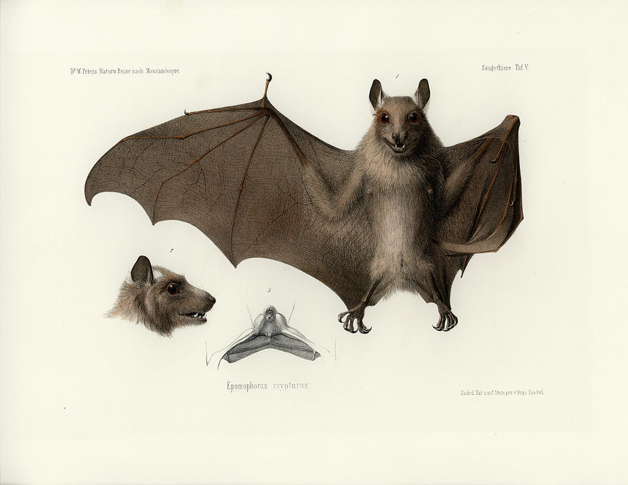 Peters's epauletted fruit bat by Hugo Troschel
