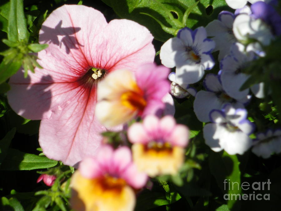 Petunia Photograph - Petunia And Nemesia At Sunset by Sonya Chalmers