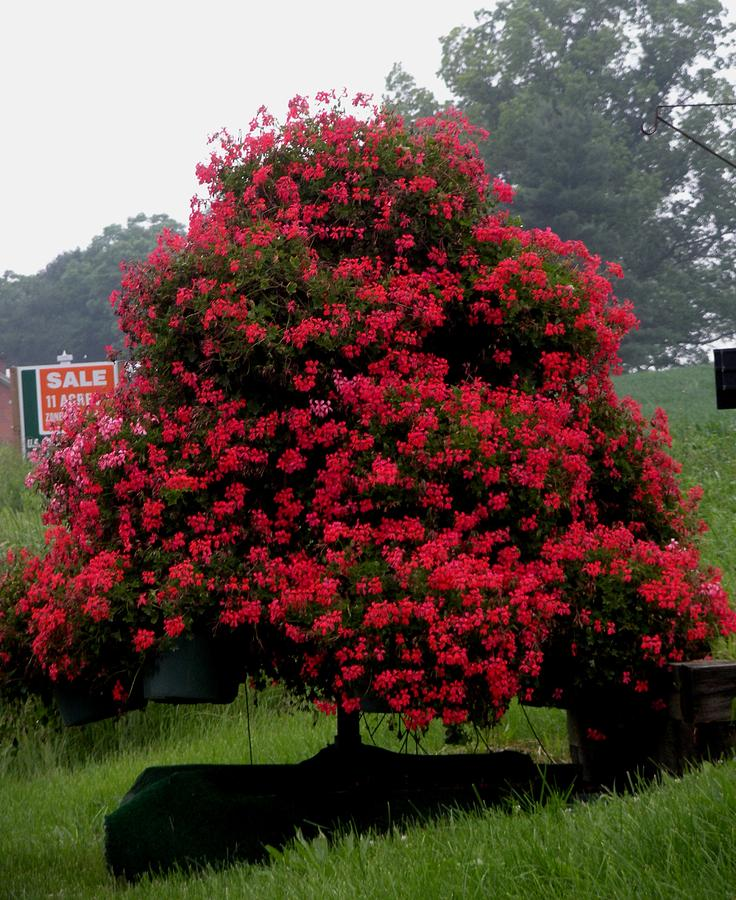 Flowers Photograph - Petunia Tree by Jeanette Oberholtzer