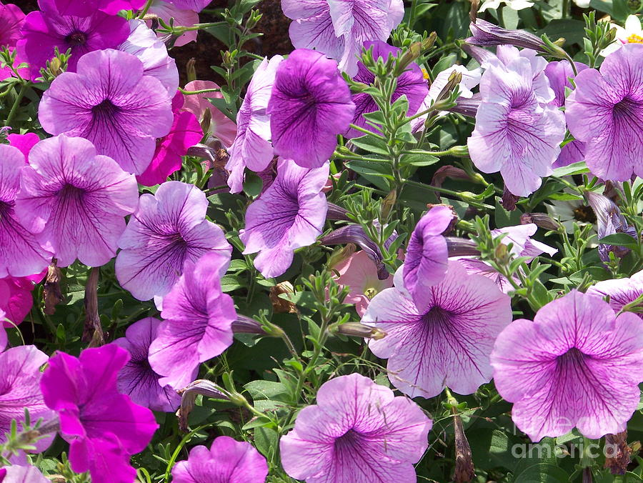 Petunia Photograph - Petunias by Kevin Croitz