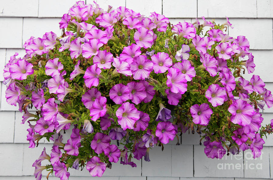 Petunias on white wall by Elena Elisseeva