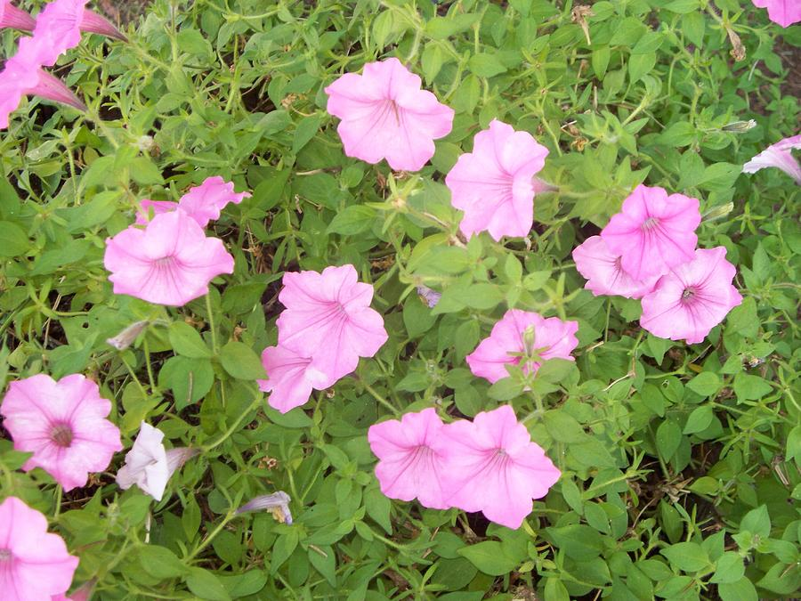 Petunias Photograph - Petunias by Rosanne Bartlett