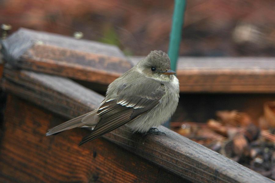 Bird Photograph - Pewee by Paulina Roybal