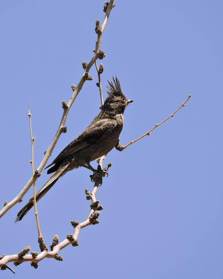 Phainopepla by Grace Dillon