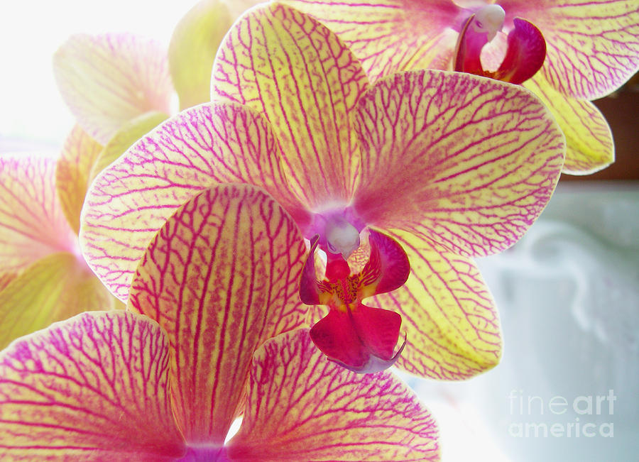 Orchids Photograph - Phalaenopsis by Addie Hocynec