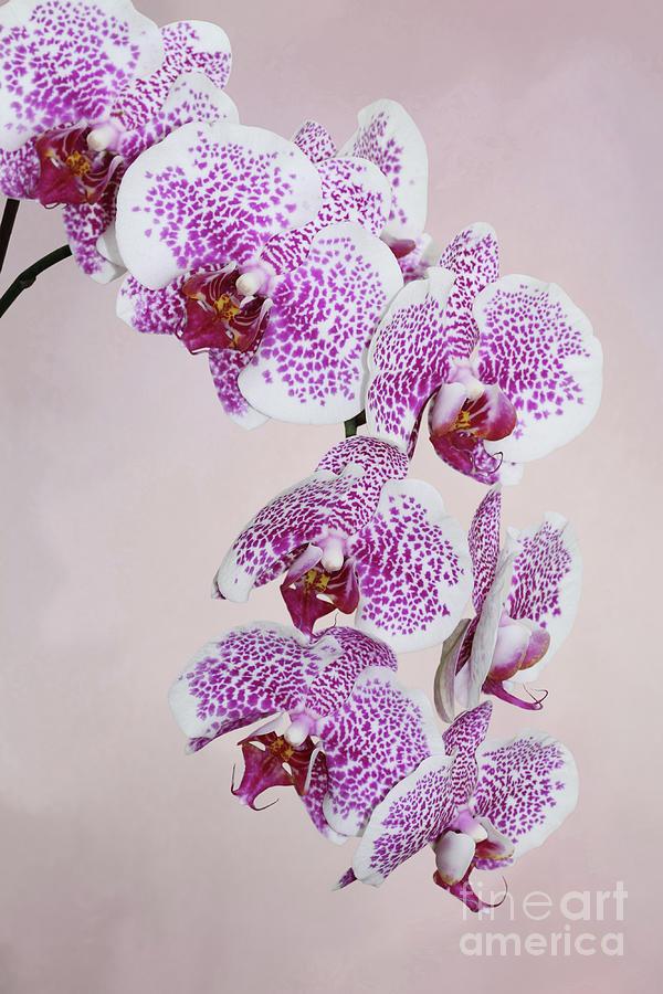 Phalaenopsis Hybrid Orchid V2 by Judy Whitton