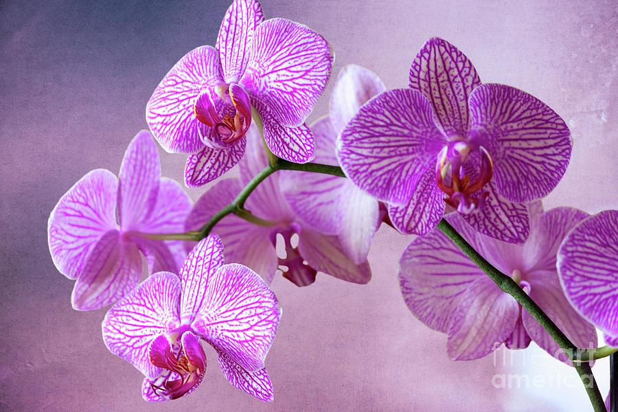 Phalaenopsis Pink Balanz Photograph