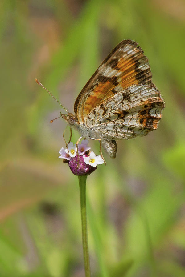 Phaon On Phyla Photograph