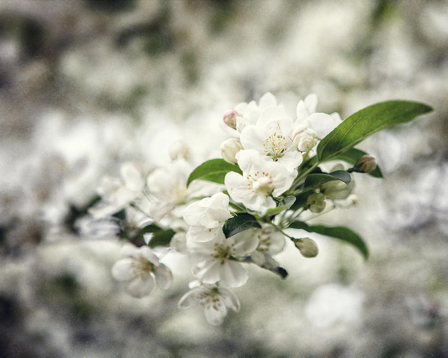 Cherry Blossoms Photograph - Philadelphia Beauty by Lisa Russo