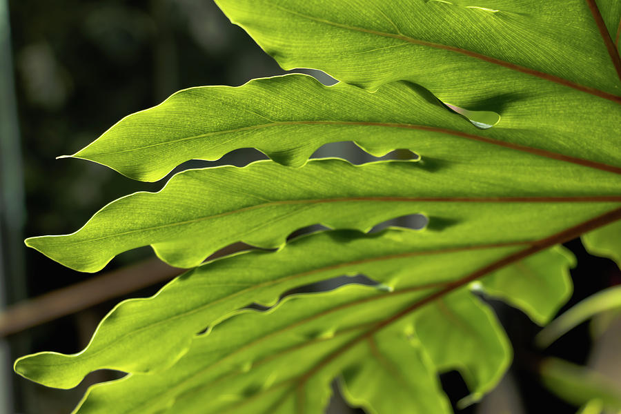 Araceae Photograph - Philodendron Leaf by Cristina Stefan