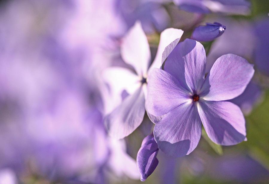 Purple Photograph - Phlox by Don Ziegler