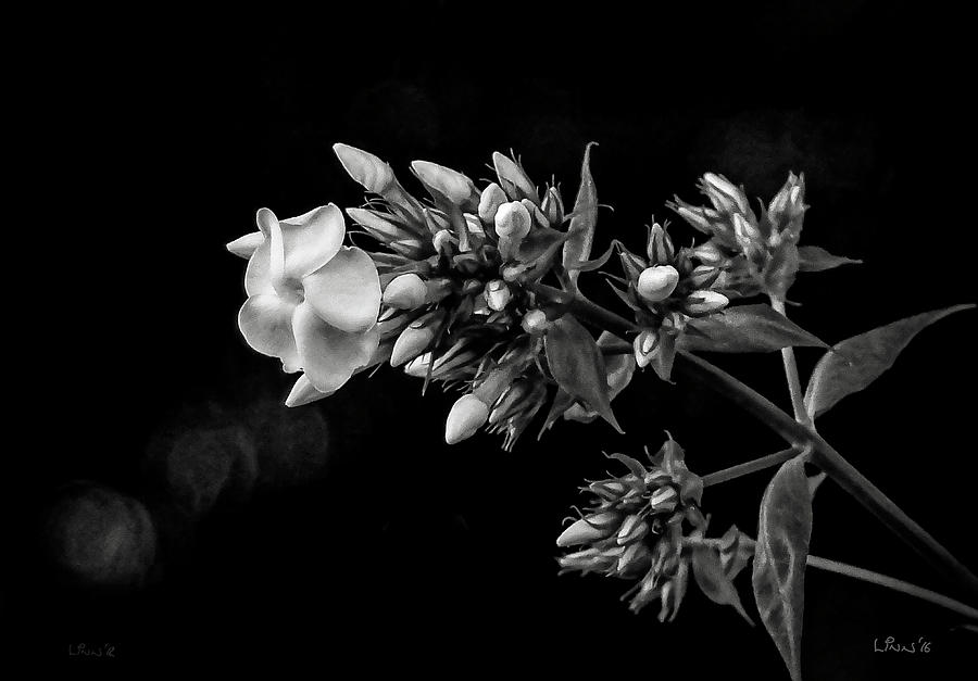 Phlox Photograph - Phlox In Black And White by Bill Linn